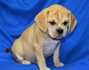 Potty Trained Puggle Puppies For Sale.